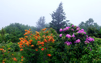 Flame azalea and rhododendron, Roan Highlands